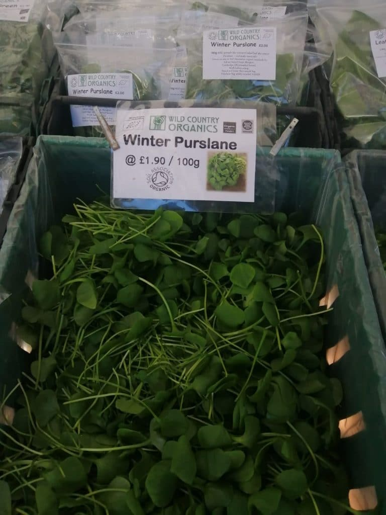 Winter Purslane